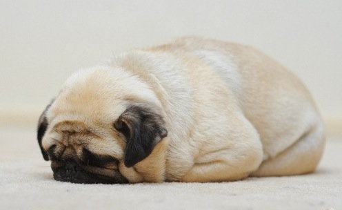 15 Chubby Pugs To Brighten Your Day
